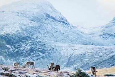 Renarna betar febrilt för att få energi inför vintern. Foto:David Erixon