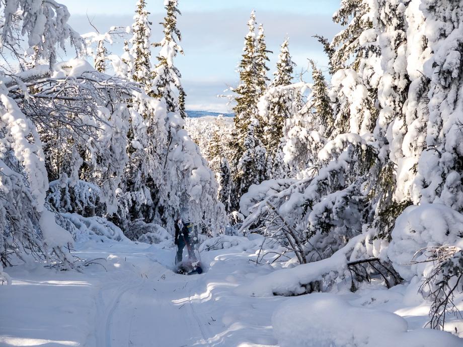 Om man råkar köra in i de snötyngda träden går det en mindre lavin. Foto: David Erixon
