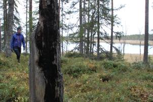 I Hamra fins flera spär efter skogsbrärder.