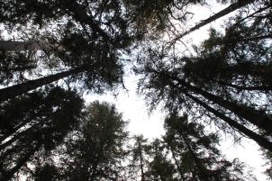 Vindens sus i trädkronorna.