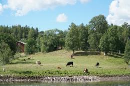 Fint att vara ko! Foto: Linnea Nilsson-Waara